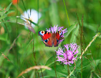 Spring meadow and peacock butterfly Stock Photography