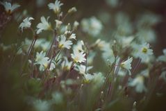 Spring. Meadow with perfect white flowers stock photography