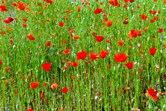 Spring meadow with red poppies Royalty Free Stock Photos