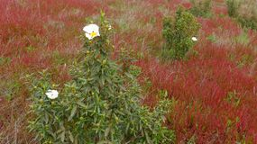 Spring meadow with red wild flowers in Alentejo, Portugal. With white rockrose  Cistus ladanifer Royalty Free Stock Image