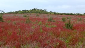Spring meadow with red wild flowers in Alentejo, Portugal. With Stock Image