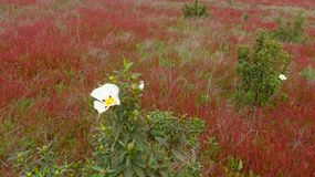 Spring meadow with red wild flowers in Alentejo, Portugal. With Royalty Free Stock Photos