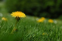 Single yellow dandelion flower surrounded by green grass in spring royalty free stock photos