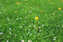 On the spring meadow. Some blooming dandelions and fallen petals of apple trees on the green grass in spring Royalty Free Stock Image