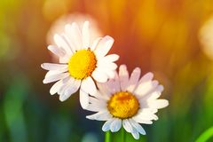 Spring meadow sun - camomile. Close-up. royalty free stock image