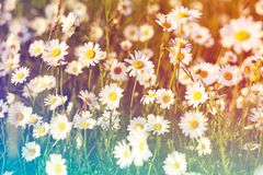 Spring meadow sun - camomile. Photo for backgrounds, desktop, cover. Spring meadow sun - camomile. Field of daisy flowers. Perfect photo for backgrounds, desktop stock image