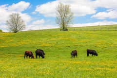 Spring Meadow of  Yellow Flowers With Cows Grazing. Rolling grassy meadow filled with tiny yellow flowers and grazing cows.  Blue sky and clouds in the Stock Photo