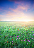 Spring meadow of violet flower. Royalty Free Stock Photos