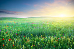 Spring meadow of violet flower. Stock Images