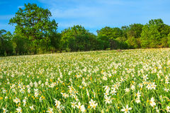 Spring meadow and white daffodils flowers Royalty Free Stock Images