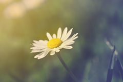 Spring meadow and white daisies in romantic retro style Royalty Free Stock Photos