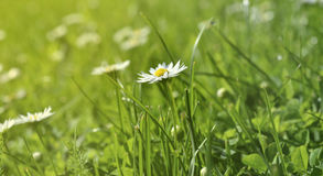 Spring meadow and white daisies in romantic retro style Stock Photography