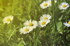 Spring meadow and white daisies in romantic retro style Royalty Free Stock Photography