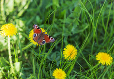 Spring meadow, yellow dandelions and butterflies Stock Photography