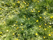Spring meadow with yellow dandelions and green grass Stock Image