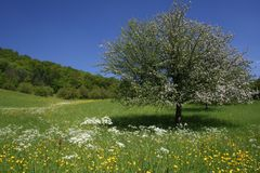 Spring  meadows with Apple tree. The green meadows lay in morning chill and cooling sweats Stock Photography