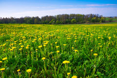 Spring medow covered with dandelions 2 Stock Photos