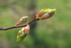Spring. Melting buds of linden Royalty Free Stock Images