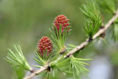 Spring messenger - larch cone Royalty Free Stock Photos