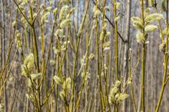 Spring, in mid-April very beautiful buds willow. Russia. Saint-Petersburg. Spring, in mid-April very beautiful buds willow stock photo