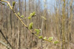 Spring, in mid-April very beautiful buds willow. Russia. Saint-Petersburg. Spring, in mid-April very beautiful buds willow royalty free stock photos