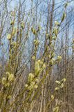 Spring, in mid-April very beautiful buds willow. Russia. Saint-Petersburg. Spring, in mid-April very beautiful buds willow royalty free stock photo