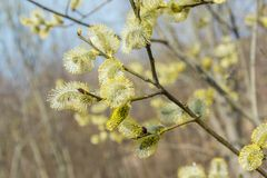Spring, in mid-April very beautiful buds willow. Russia. Saint-Petersburg. Spring, in mid-April very beautiful buds willow stock images