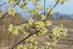Spring, in mid-April very beautiful buds willow. Russia. Saint-Petersburg. Spring, in mid-April very beautiful buds willow royalty free stock image