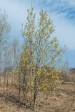 Spring, in mid-April very beautiful buds willow. Russia. Saint-Petersburg. Spring, in mid-April very beautiful buds willow royalty free stock images