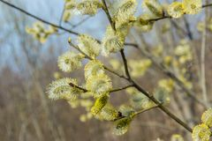 Spring, in mid-April very beautiful buds willow. Russia. Saint-Petersburg. Spring, in mid-April very beautiful buds willow stock photos