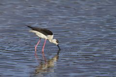 Spring migrant Black-winged stilt, Himantopus himantopus. Foraging at stop-over to fatten, pulling shrimp out of water. Ghadira Nature Reserve, Malta royalty free stock image
