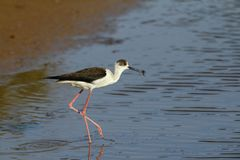 Spring migrant Black-winged stilt, Himantopus himantopus. At stop-over to fatten, with shrimp in bill. Ghadira Nature Reserve, Malta, Mediterranean royalty free stock photography