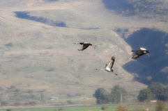 Spring migration of cranes Royalty Free Stock Images
