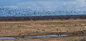 Spring migration of migratory geese in the Republic of Karelia. Royalty Free Stock Images
