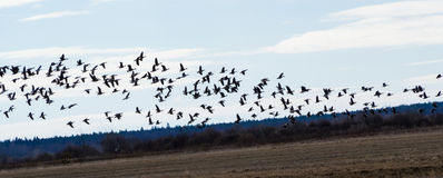 Spring migration of migratory geese in the Republic of Karelia. Royalty Free Stock Image