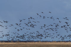 Spring migration of migratory geese in the Republic of Karelia. Royalty Free Stock Photos