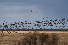 Spring migration of migratory geese in the Republic of Karelia. Stock Photography