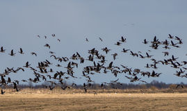 Spring migration of migratory geese in the Republic of Karelia. Royalty Free Stock Photo