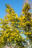 Flowering mimosa tree. Spring with mimosa tree in bloom stock images