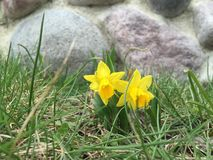 Spring miniature yellow daffodils Royalty Free Stock Photos