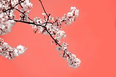 Spring mood. Coral background with white blooming cherry flowers for the holidays. stock image