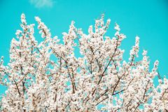 Spring mood. Fresh blue background with white blooming cherry flowers for the holidays stock image