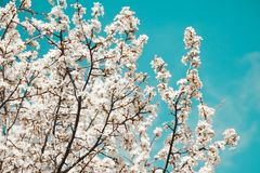 Spring mood. Fresh blue background with white blooming cherry flowers for the holidays. stock photography