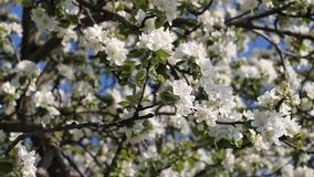 Apple blossoms, sunny day. Spring mood. Flowering tree in a park in spring. Spring mood. Spring, a sunny day, a flourishing garden. White-pink flowers on an stock footage