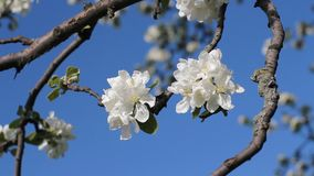 Apple blossoms, sunny day. Spring mood. Flowering tree in a park in spring. Spring mood. Spring, a sunny day, a flourishing garden. White-pink flowers on an stock video