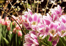 Spring mood with tulips and cherry. Tree royalty free stock photos