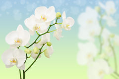 Spring morning background with white orchids Stock Photos