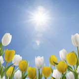 Spring Morning. Field of white and yellow tulips under sunny sky Stock Photos