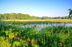 Spring morning landscape. Green grass in a pond stock photography