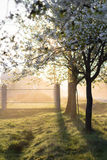 Spring morning misty landscape of tree blossom and dew on green Royalty Free Stock Images
